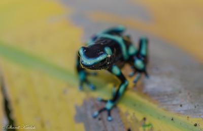 Green Poison Dart Frog #1