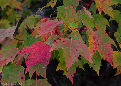 Maple leaves with fall color