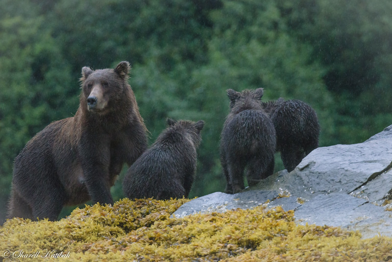 Mom and cubs in the rain