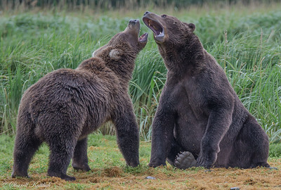 Young Bear Love #1