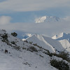 Caribou Grazing on Snowy Slope, Denali NP