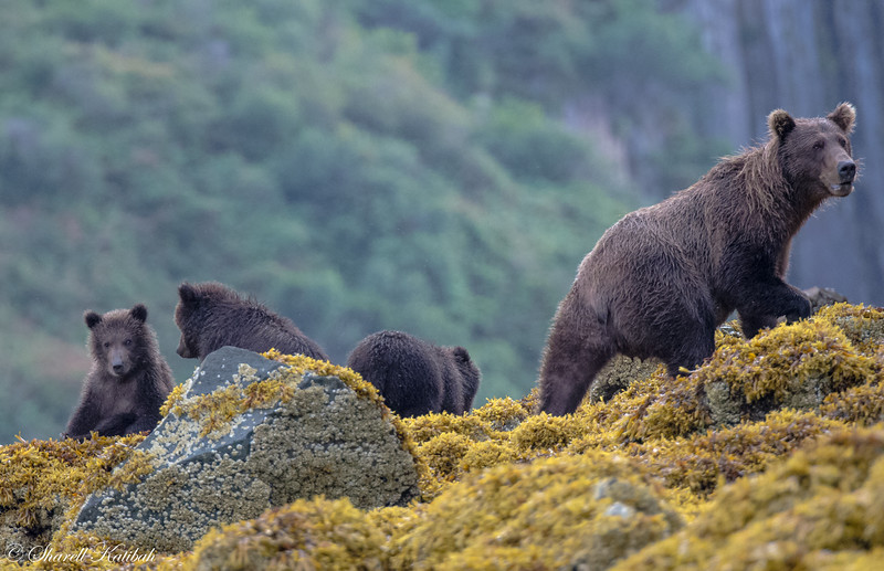 Mom and Cubs looking for lunch