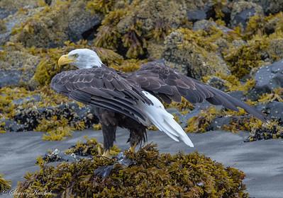 Bald Eagle, Geographic Harbor