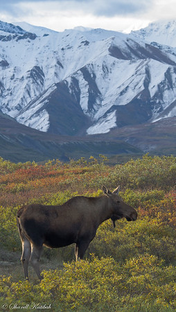 Moose and Alaska Range