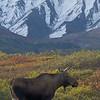 Moose and Alaska Range