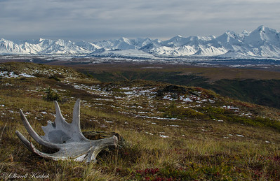 Moose Antler and Alaska Range