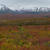 Fall Colors on Tundra, Denali NP