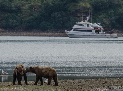 Bears im Geographic Sound