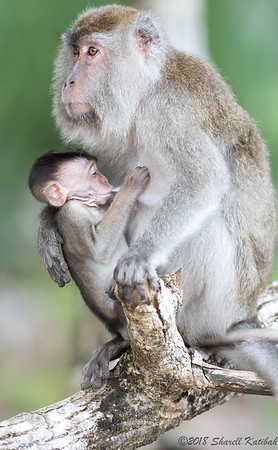 Macaque Mom and Baby