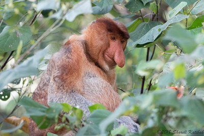 Male Proboscis Monkey in Tree