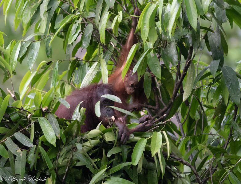 Mother and Baby Orangutan Building Nest #1, Evening, Sepilok