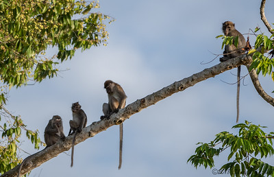 4 Long tailed Macaques, Day's End