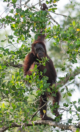 Orangutan, Morning, Kinabatangan River