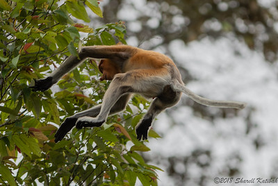 Proboscis Monkey Aflight