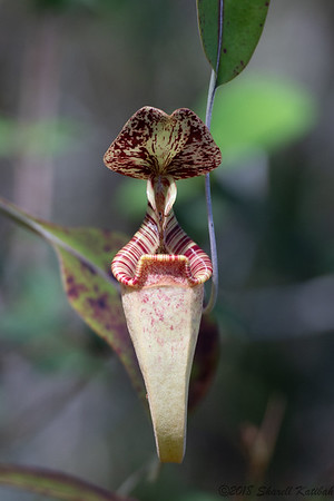 Pitcher Plant--Nepenthes