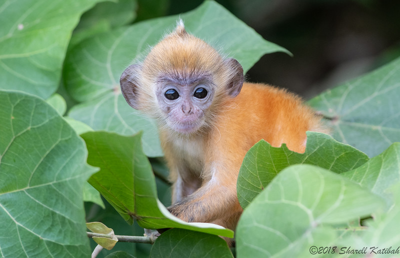 Infant Silvered Langur