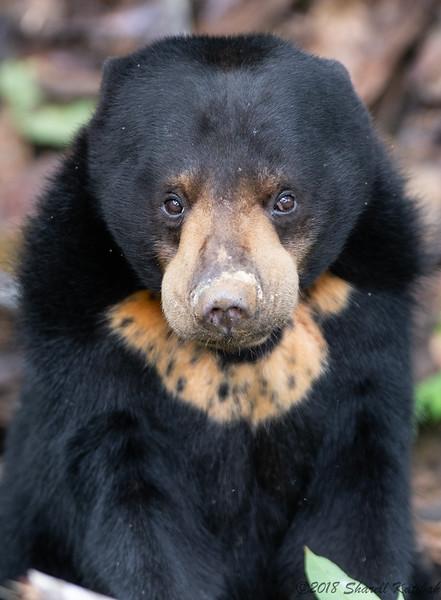 Bornean Sun Bear, Sepilok