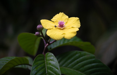 Rainforest Flower, Danum