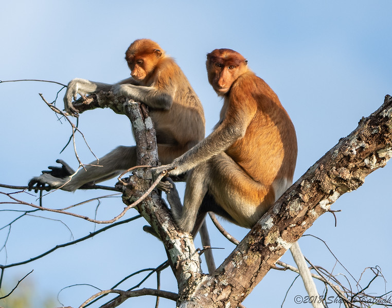 Proboscis Monkeys, Day's End