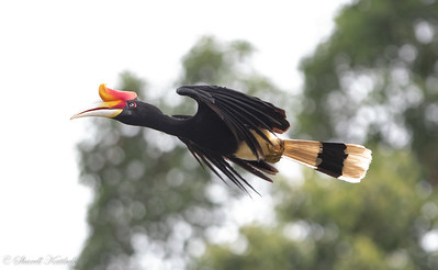 Rhinocerous Hornbill in Flight, Sepilok