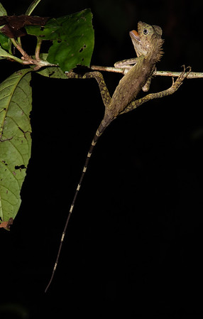 Lizard on a Night Walk