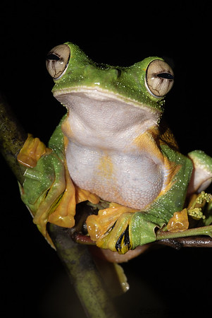 Wallace's Flying Tree Frog