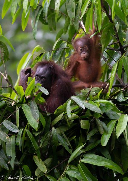 Mother and Baby Orangutan Building Nest #2, Evening, Sepilok