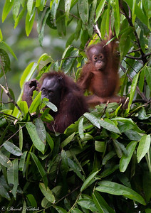 Mother and Baby Orangutan Building Nest #2, Evening, Sepilok