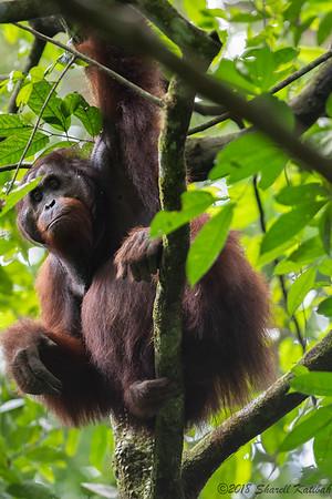 Male Orangutan, Afternoon, Danum Valley