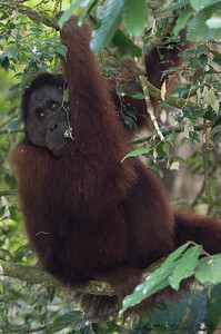 Male Orangutan, Morning, Danum Valley