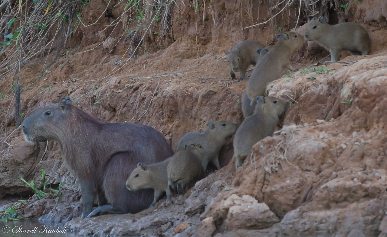 Capybara and Babies by the River