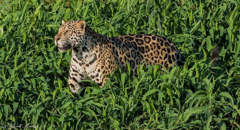 Jaguar in the Grass
