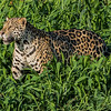 Jaguar in the Grass