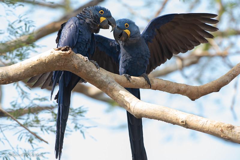Mating Pair, Hyacinth Macaws