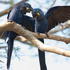 Mating Pair, Hyacinth Macaws