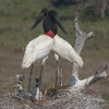Jabiru Parents