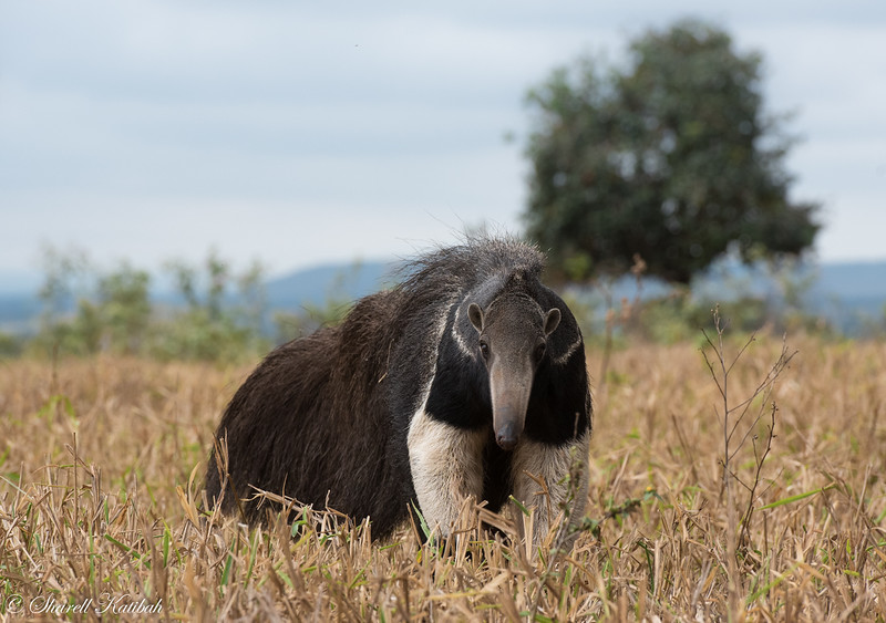 Giant Anteater in Grass