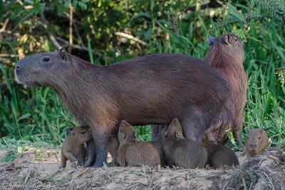 Nursing Capybara