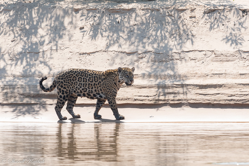 Jaguar along the Shore