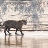 Jaguar along the Shore