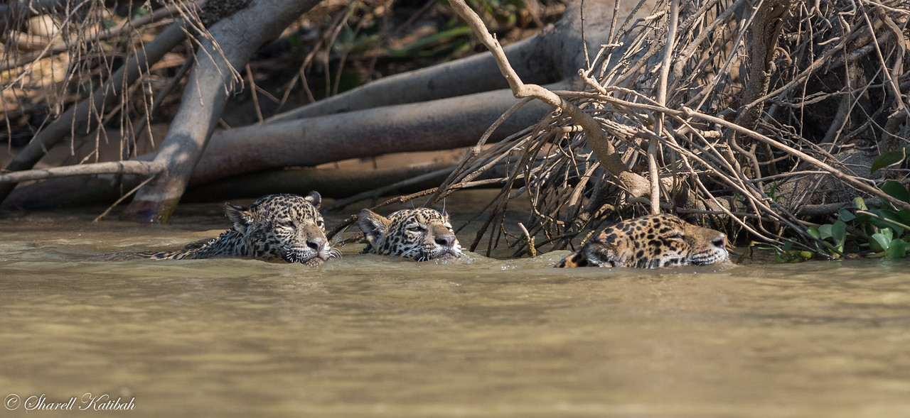 Mother and Cubs Swimming