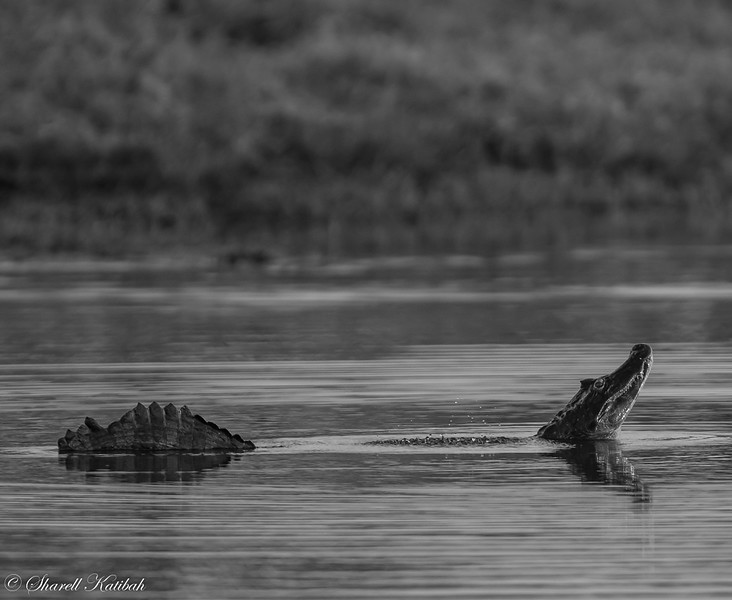 Bubbling Caiman, Black and White