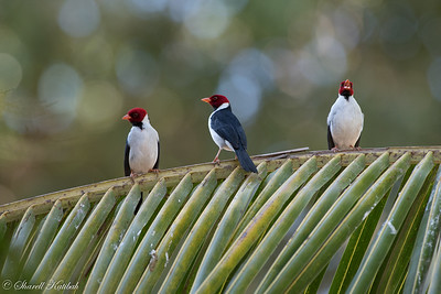 Yellow-billed Cardinal on Palm Leaf
