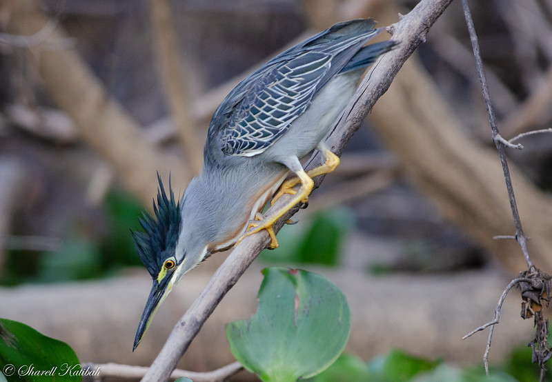 Striated Heron on Branch