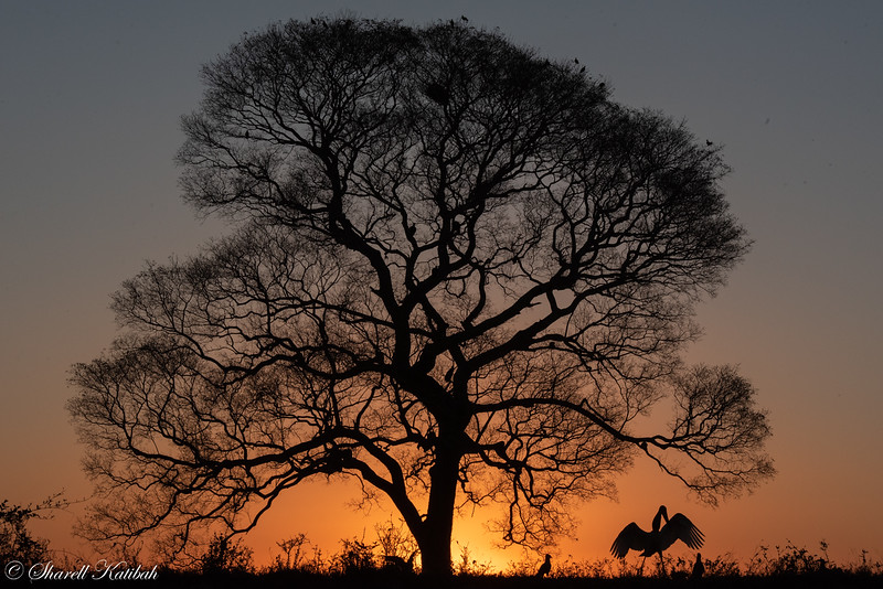 Jabiru and Oak at Sunset