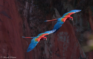 Red-and-Green Macaw Pair in Flight