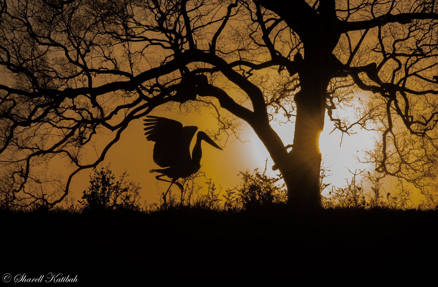Jabiru Stork at Sunset