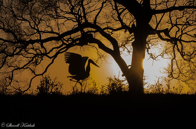 Jabiru Stork at Sunset