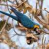 Blue-and-Yellow Macaw in Tree