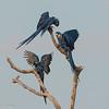 SHyacinth Macaw Chaos